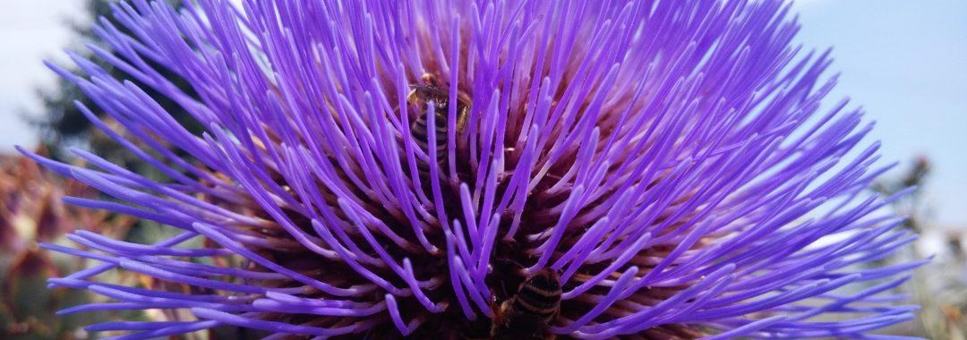 flor de cardo sin pinchos de la Hoya