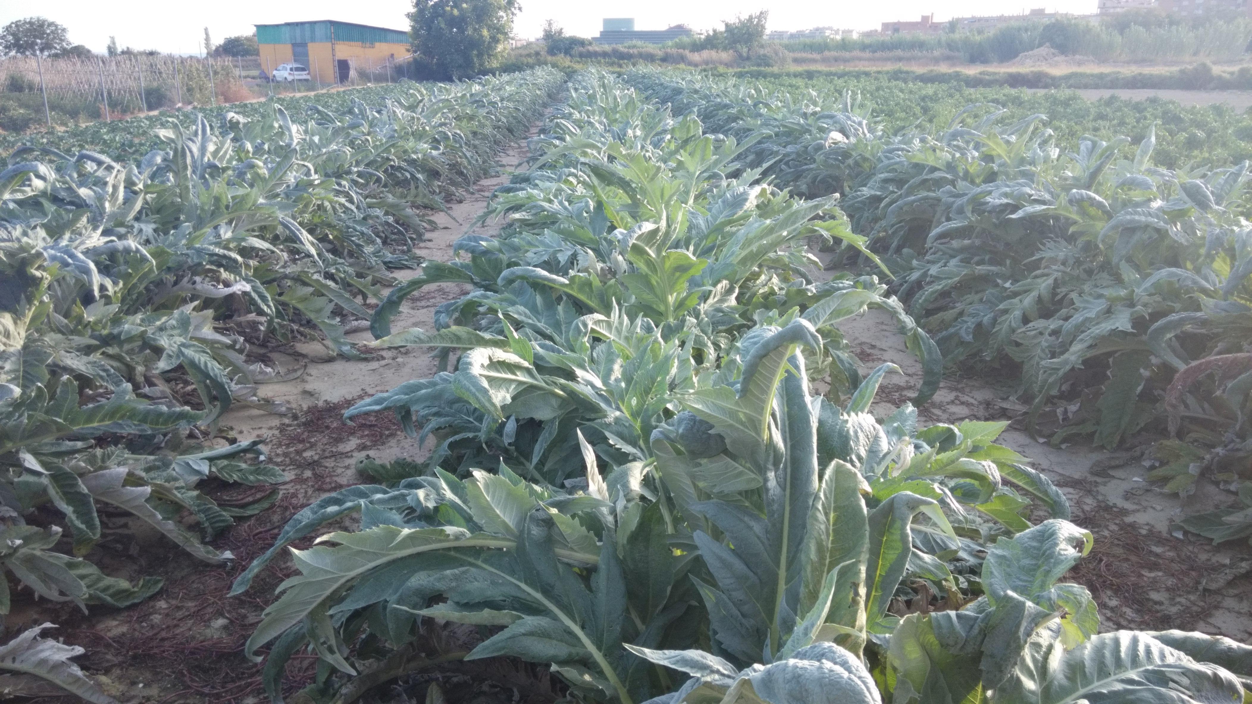 plantas de cardo a final de octubre