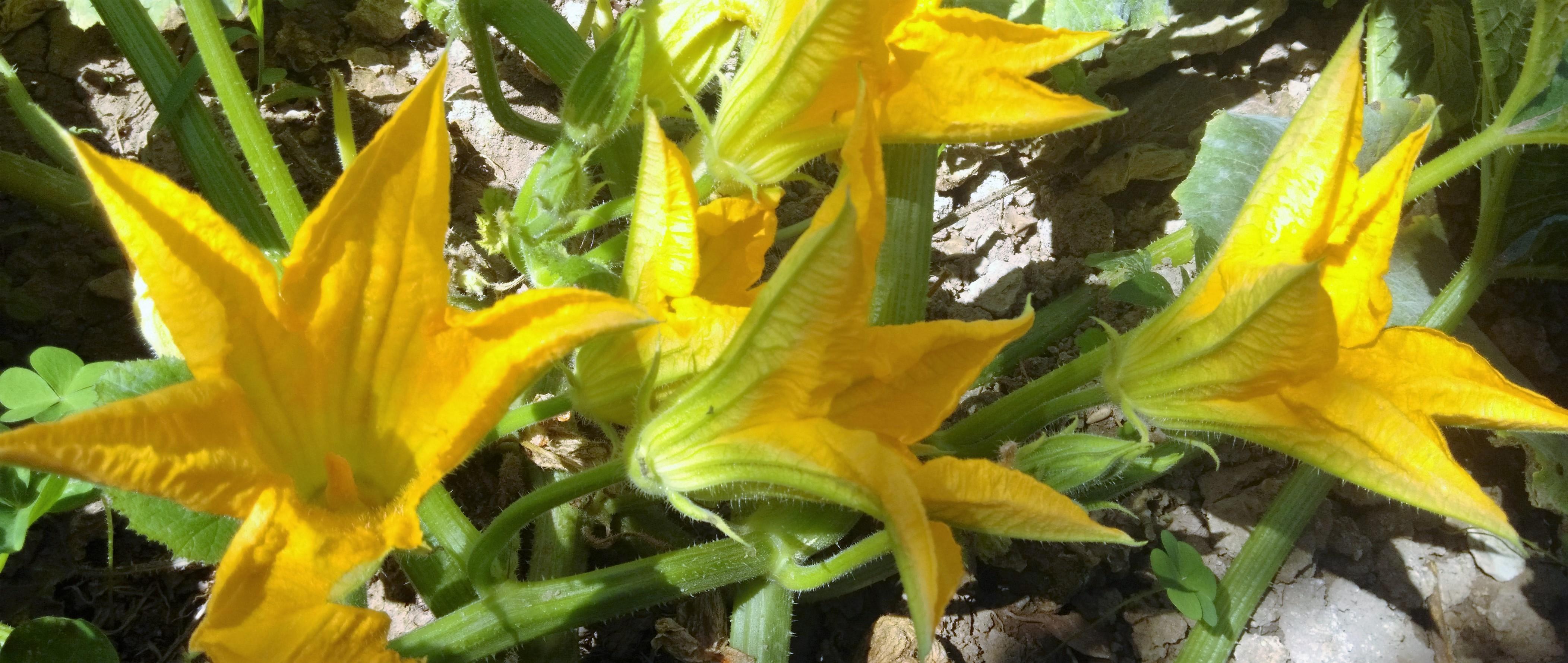 flor calabaza gitana de Belchite