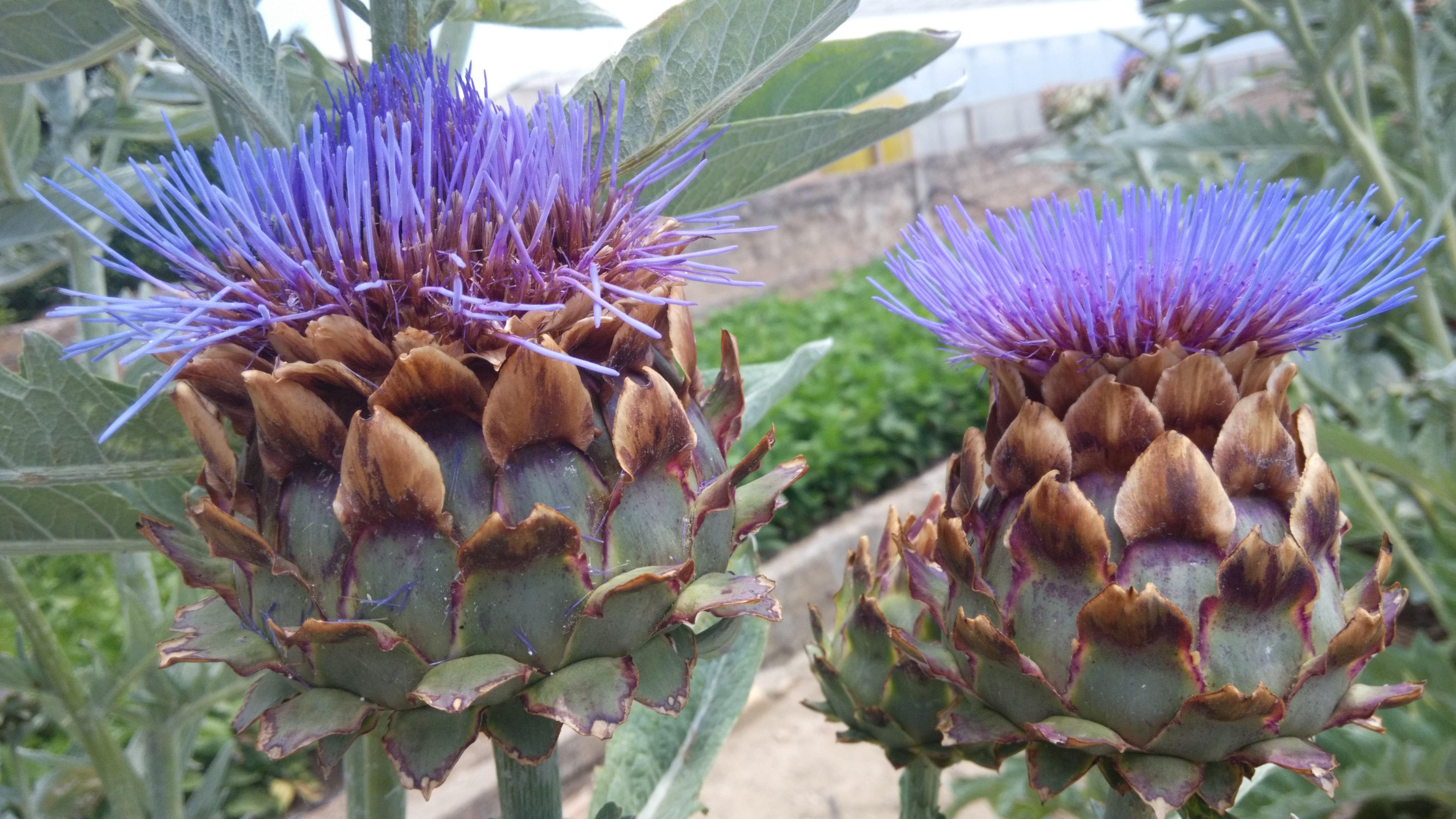 flores de cardo